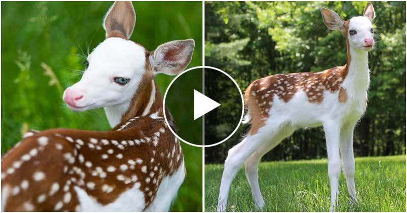 Amazing Rare White-faced Baby Deer Was Rescued After Being Abandoned By Its Mother